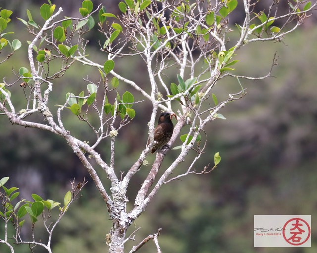 Red Vented Bulbul-5241